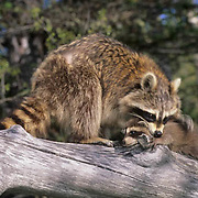 Raccoon, (Procyon lotor) Adult with baby. Montana. Captive Animal.
