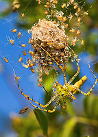 Peucetia viridans, the green lynx spider with guarding brood and egg sack.  Lady Lake, Florida USA