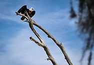 Bald eagle on a dead live oak tree in Point-aux-Chenes Louisana.