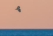 Short-eared Owl over the Atlantic Ocean at Sunset