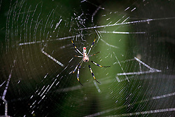 01 June 2015. Jean Lafitte National Historic Park, Louisiana.<br /> A banana spider in the swamp at the Barataria Preserve wetlands south or New Orleans.<br /> Photo©; Charlie Varley/varleypix.com