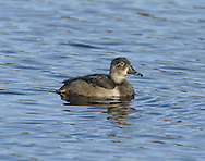 Ring-necked Duck Aythya collaris (L 38-45cm) is similar to a Tufted Duck but with a peaked crown and tri-coloured bill. Mainly black and white male has a vertical white line on flanks and brownish female has a white 'spectacle' around the eye.
