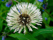 Alaska, Hatcher Pass, Summer, Blooming Dandelion going to seed