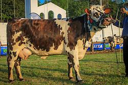 Grande Campea Gado de Corte da raça Normando  durante a 38ª Expointer, que ocorrerá entre 29 de agosto e 06 de setembro de 2015 no Parque de Exposições Assis Brasil, em Esteio. FOTO: Vilmar da Rosa/ Agência Preview