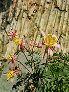 Columbine flower (genus Aquilegia in the Buttercup family, Ranunculaceae) on Burro Pass in Hoover Wilderness of Humboldt-Toiyabe National Forest, Eastern Sierra Nevada, Mono County, California, USA.