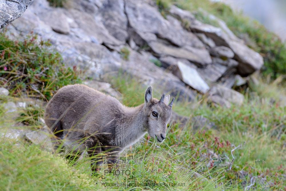 Steinkitze (Capra ibex) am Güggisgrat zwischen Niederhorn (1934) und Gemmenalphorn (2061) oberhalb Interlaken an einem späten Sommertag Ende August.