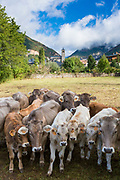 Herd of cattle in town of Biescas in Tena Valley - Valle de Tena-  Aragon, Northern Spain RESERVED USE