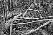 Old growth coastal temperate rain forest , McMillan Provincal Park , British Columbia, Canada
