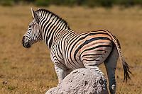 Zebra rubbing against a termite mound, Nxai Pan National Park, Botswana.