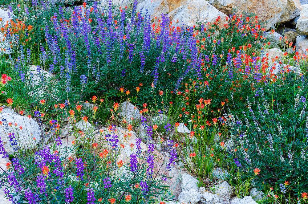 Wildflowers, Tuolumne Meadows, Yosemite National Park, California USA