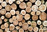 Nederland, Ooijpolder, 30-10-2015Onderhoud van populieren bos langs de Waal . Populierenstammen liggen opgestapeld om verwerkt te worden. houtkap staatsbosbeheerFoto: Flip Franssen/Hollandse Hoogte