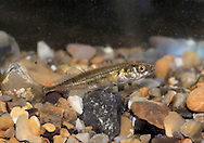 Nine-spined Stickleback Pungitius pungitius Length to 10cm <br /> Small, body-looking fish with 9-10 dorsal spines. Adult is yellowish-green above, silvery below. Found in sheltered bays and estuaries. Locally common, except in SW.