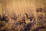 A columbia sharp-tailed grouse (Tympanuchus phasianellus columbianus) at a lek on private property near Zumwalt Prairie, Oregon. These birds were re-introduced into the grassland by the Oregon Department of Fish and Wildlife. Once abundant they were gone from NE Oregon by the early 60's.