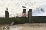 © Licensed to London News Pictures. 30/11/2013. Southwold, UK A seagull lands on a breakwater. Crashing waves on the seafront in Southwold, Suffolk today, 30 November 2013. Photo credit : Stephen Simpson/LNP