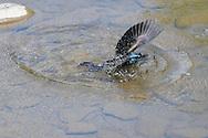 Photographer: Kyle Reynolds..Bird Species: Common Grackle..Location:..Date Taken: