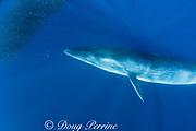 Bryde's whale, Balaenoptera brydei or Balaenoptera edeni, and striped marlin, Tetrapturus audax, feeding on mixed baitball of sardines and Pacific chub mackerel or green mackerel Scomber japonicus, off Baja California, Mexico ( Eastern Pacific Ocean )