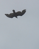 Turkey Vulture (Cathartes aura). Northern Pacific Coast Highway, California. Image taken with a Nikon D200 camera and 80-400 mm lens.