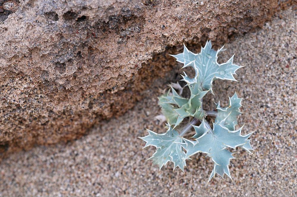 Sea Holly (Eryngium maritimum), Falassarna, Crete