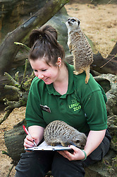 © Licensed to London News Pictures. 03/01/2013 London, UK. Keeper Tegan McPhail counts the Meerkats at the annual stocktake of every animal at London Zoo, Regents Park, London. The compulsory count is required as part of the zoo's licence and every creature, great or small will be accounted for..Photo credit : Simon Jacobs/LNP