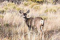 Mule deer doe (Odocoileus hemionus) Great Sandunes Natioal Park.  Colorado, USA