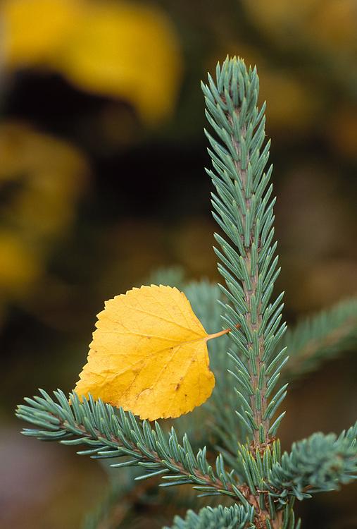 Birch leaf and spruce tree, September, Kobuk Valley National Park, Alaska, USA