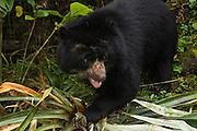 Spectacled Bear for release<br /> Near Cayambe Coca Ecological Reserve<br /> Andes<br /> ECUADOR, South America<br /> This bear was found orphan as a cub and is now due for release in the paramo