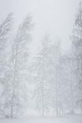 Snow covered birch trees (Betula sp.) blending in snowstorm, Vidzeme, Latvia Ⓒ Davis Ulands | davisulands.com