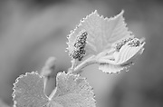 Soft new growth of wild grapevine with decorations of morning dew