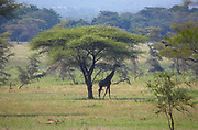 Giraffe in shade under an Acacia tree in the Serengeti National Park, Tanzania