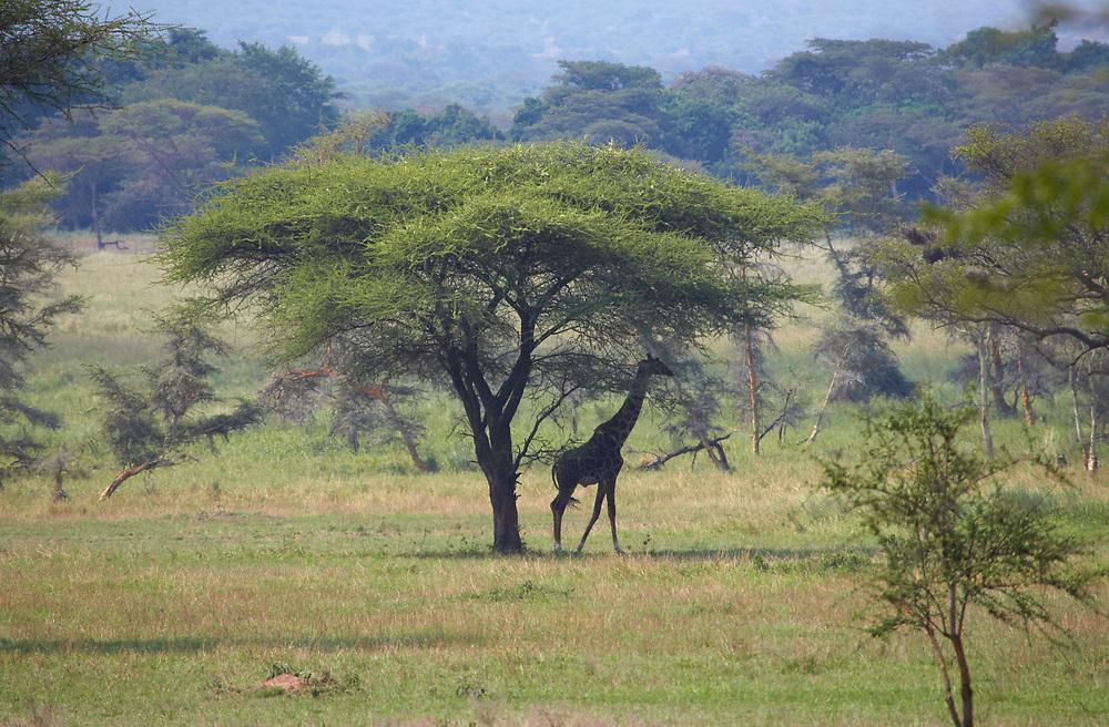 Giraffe in shade under an Acacia tree in the Serengeti National Park, Tanzania