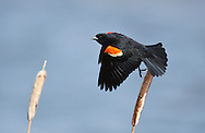 Photo Randy Vanderveen.Grande Prairie , Alberta.10-05-12 .A red-wing blackbird perches on a cattail calling out in Crystal Lake Park on Grande Prairie's northside. The territorial birds are a common sight in wetlands throughout the Prairie Provinces.