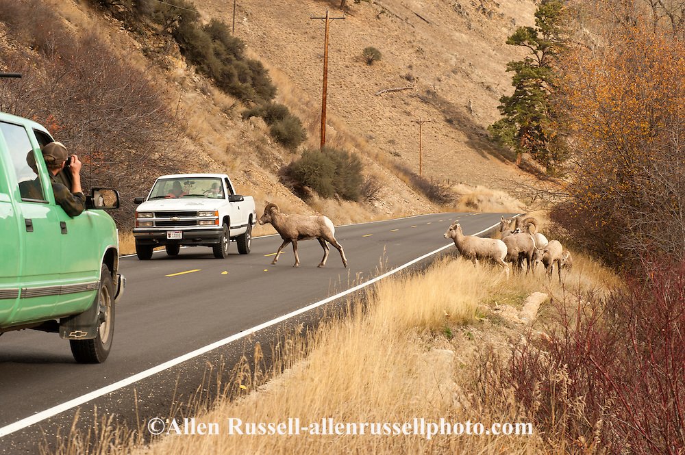 American bighorn sheep ram leads ewes across East Fork Road, east of Sula, Montana, Bitterroot National Forest