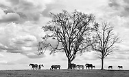 Horses and Trees In The Pastoral Countryside Of Lexington Kentucky, Thoroughbreds In Springtime