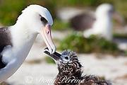 Laysan albatross, Phoebastria immutabilis, chick taps parent's bill to stimulate feeding, Sand Island, Midway Atoll, Midway National Wildlife Refuge, Papahanaumokuakea Marine National Monument, Northwest Hawaiian Islands, USA ( North Pacific Ocean )