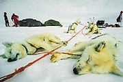 Dog tired at end of day, Dog sledging with huskies and skiing across Greenland icecap, Arctic