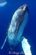 humpback whale, Megaptera novaeangliae, female with acorn barnacles on chin, Kona, Hawaii; caption must include notice that photo was taken under NMFS research permit #587