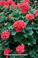 65021-035.02 Geranium (Pelargonium 'designer hot coral') MO