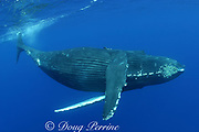 humpback whale, Megaptera novaeangliae, female, Kona, Hawaii; caption must include notice photo was taken under NMFS research permit #587