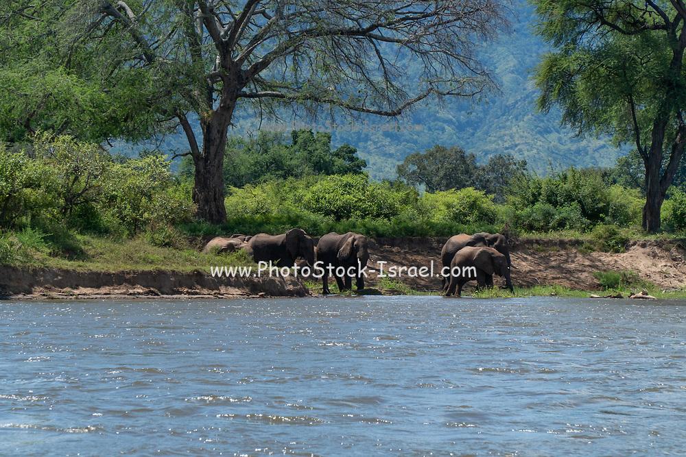 A herd of African Bush Elephant (Loxodonta africana) Photographed at Lake Kariba National Park, Zimbabwe