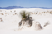 The Soaptree yucca (Yucca elata) can grow up to a foot a year to keep above shifting dunes. White Sands National Monument preserves one of the world's great natural wonders - the glistening white sands of New Mexico. Here in the northern Chihuahuan Desert rises the largest gypsum dune field in the world. Visit the park 16 miles southwest of Alamogordo, NM, USA. White Sands National Monument preserves 40% of the gpysum dune field, the remainder of which is on White Sands Missile Range and military land closed to the public. Geology: The park's gypsum was originally deposited at the bottom of a shallow sea that covered this area 250 million years ago. Eventually turned into stone, these gypsum-bearing marine deposits were uplifted into a giant dome 70 million years ago when the Rocky Mountains were formed. Beginning 10 million years ago, the center of this dome began to collapse and create the Tularosa Basin. The remaining sides of the original dome now form the San Andres and Sacramento mountain ranges that ring the basin. The common mineral gypsum is rarely found in the form of sand because rain dissolves it in runoff which usually drains to the sea; but mountains enclose the Tularosa Basin and trap surface runoff. The pure gypsum (hydrous calcium sulfate) comes from ephemeral Lake Lucero (a playa), which is the remnant of ice-age Lake Otero (now mostly an alkali flat) in the western side of the park. Evaporating water (up to 80 inches per year) leaves behind selenite crystals which reach lengths of up to three feet (1 m)! Weathering breaks the selenite crystals into sand-size gypsum grains that are carried away by prevailing winds from the southwest, forming white dunes. Several types of small animals have evolved white coloration that camouflages them in the dazzling white desert; and various plants have specially adapted to shifting sands. Based on an application by two US Senators from New Mexico, UNESCO honored the monument on the Tentative List of World Heri