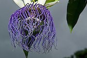 Bell-apple Passion Fruit Flower (Passiflora nitida)<br /> Turtle Mountain<br /> Iwokrama Forest Reserve<br /> GUYANA<br /> South America