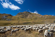 Mountain sheep and goats in Val de Tena at Formigal in the Spanish Pyrenees mountain, Northern Spain RESERVED USE