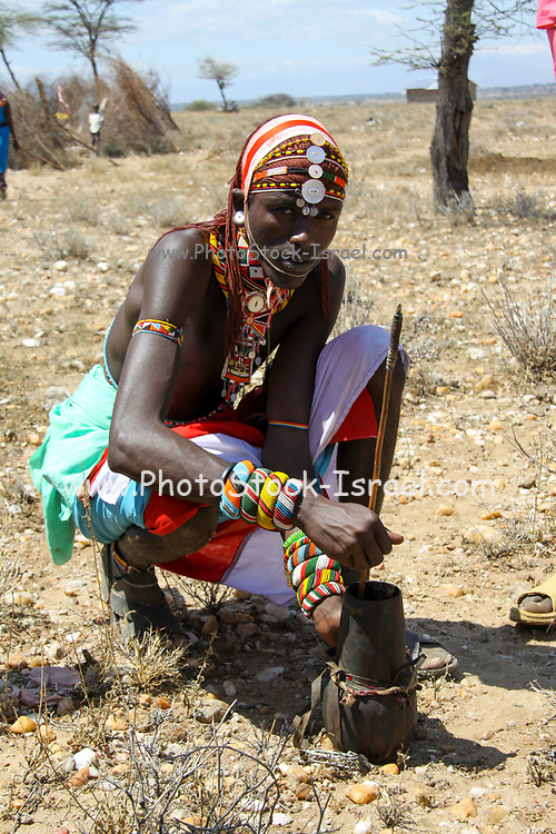 Maasai men bleed a cow to produce the Blood Milk they drink. Maasai is an ethnic group of semi-nomadic people Photographed in Kenya