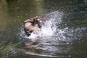 Female Eider Duck, Somateria mollissima, Barnes, London UK, flapping wings, splashing, Wildfowl & Wetlands Trust WWT