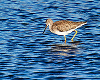 Greater Yellowlegs (Tringa melanoleuca). Black Point Wildlife Drive. Merritt Island National Wildlife Refuge. Image taken with a Nikon D3 camera and 70-200 mm f/2.8 VR lens.