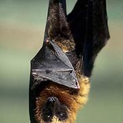 Fruit Bat, (Pteropus rufus) Resting. Madagascar.