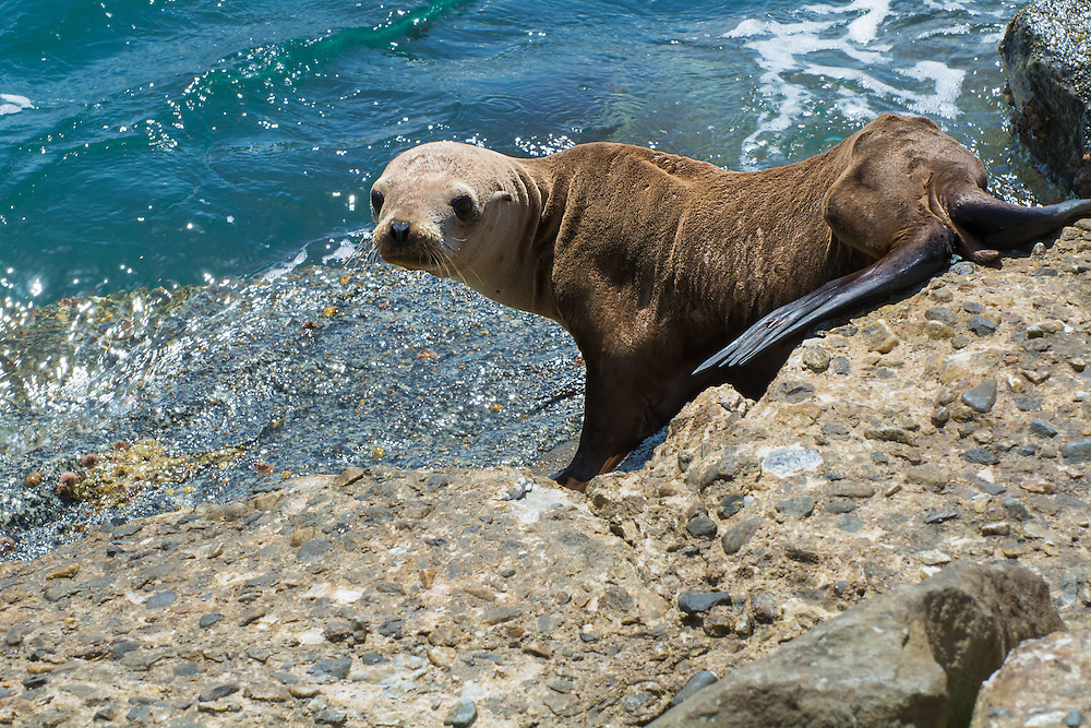 A possibly abandoned yearling California sea lion on a beach in Los Angeles, California shows that it is far too thin. This has been a common sight in recent years with far too many pups and yearlings not getting enough food to eat. Warmer waters in recent years means that the mother has to venture out further to sea to get enough food to nourish her young.