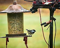Black-capped Chickadee. Image taken with a Nikon D850 camera and 200 mm f/2 VR lens.