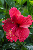 Hibiscus are plants that grow flowers of various colors. They typically grow in tropical and temperate climates. Common names are Hawaiian hibiscus, rose mallow, roselle and tropical hibiscus. The hibiscus is of the mallow family. Seven species are native to Hawaii and it is the official state flower.