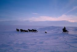 Kona rekur hesta í Biskupsstungum / Horses in Biskupstungur at winter